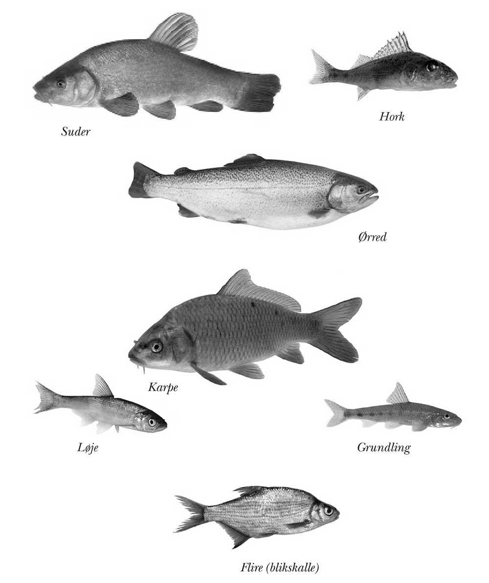 Fiskene i søen